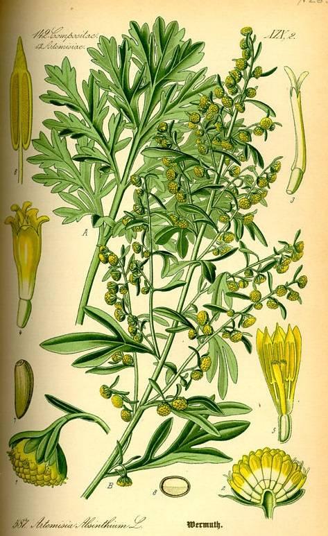 Fehérüröm - Artemisia absinthium illóolaj Bio - 5ml - Alteya